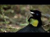 BBC: Живая Природа. Райские птицы